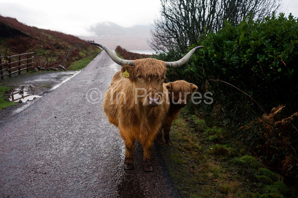 A Longhorn cow and its calf occupy the single-track road at Kilbrennan, Isle of Mull, Scotland. Highland cattle or kyloe are a Scottish breed of beef cattle with long horns and long wavy coats that are coloured black, brindled, red, yellow or dun. The breed was developed in the Scottish Highlands and Western Isles of Scotland. Breeding stock has been exported to the rest of the world, especially Australia and North America, since the early 20th Century. The breed was developed from two sets of stock, one originally black, and the other reddish.