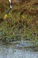 Little egret, Egretta garzetta, Pulicat Lake, Tamil Nadu, India