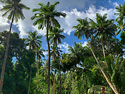 Coconut plam tree, Omoa, Fatu Hiva, Marquesas, French Polynesia, South Pacific