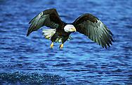 Bald eagle in flight, rising up from ocean surface after making an unsuccessful strike at a fish, Alaska, © David A. Ponton