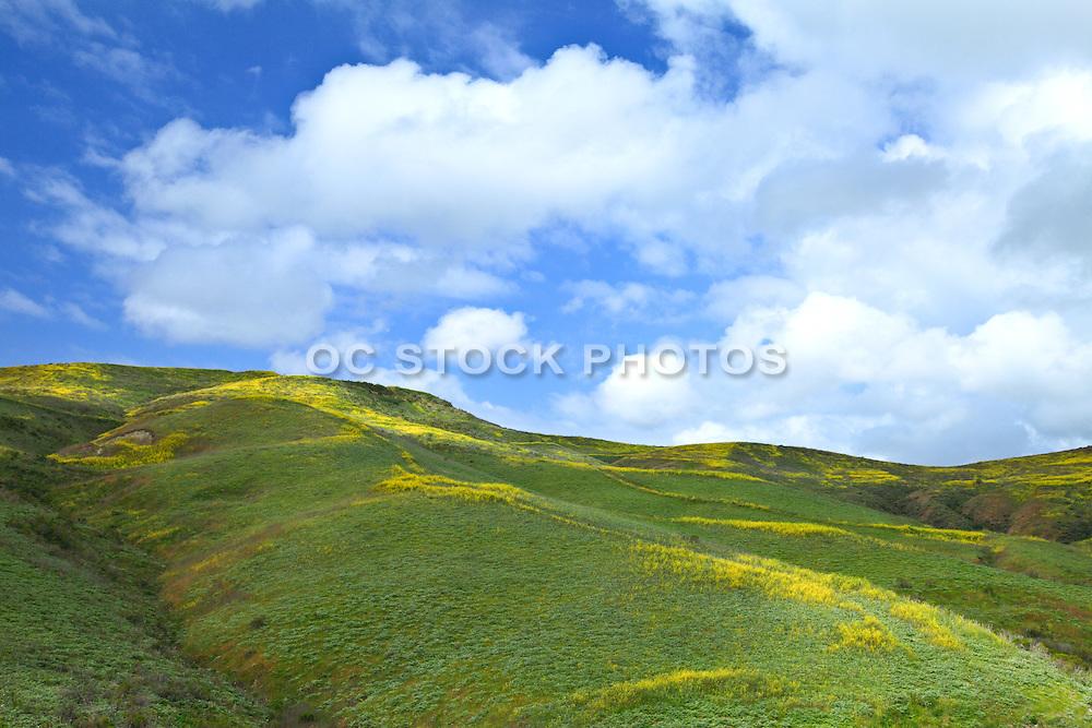 Rolling Mustard Fields