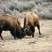 Bison, (Bison bison) Confrontation between males. Yellowstone National Park.