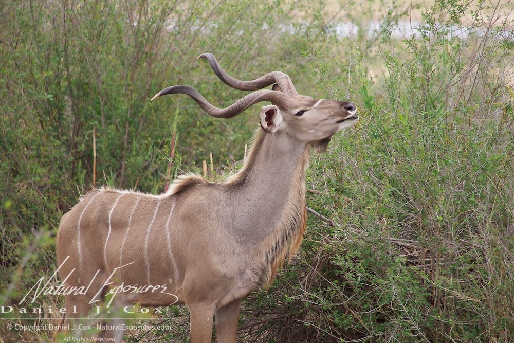 Kudu browsing along the banks of the Sand River, Malamala Game Reserve, South Africa.