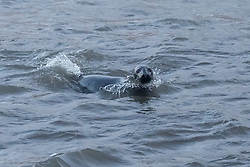Stormy weather in East Lothian 11 January 2017; a grey seal shelters from the storm in Cockenzie harbour, East Lothian.<br /> <br /> (c) Chris McCluskie | Edinburgh Elite media