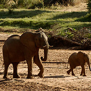 African Elephant ( Loxodanta africana) Mother and young. Samburu Game Reserve. Kenya. Africa.