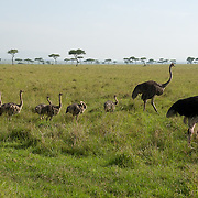 Ostrich (Struthio camelus) family with chicks. Masai Mara Game Reserve, Kenya, Africa