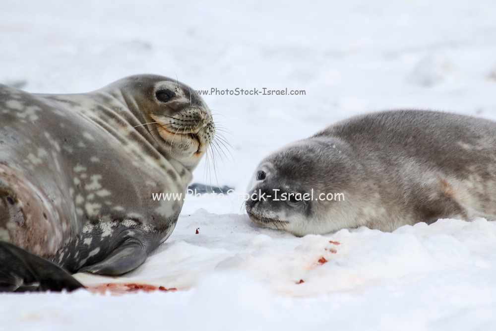 Weddell seals (Leptonychotes weddellii). Mother and pup lying on sea ice. Weddell seals are born singly. They have fine soft hair (lanugo) that turns to a dark thicker coat at about a month. They are born with their permanent dentition and after being breast fed for six weeks, feed on fish and squid. Weddell seals are found throughout the Antarctic, the majority of their social behaviour occurs in water. They have well developed eyes, which assist them in hunting for food and locating breathing holes in the ice. Photographed on Deception Island, South Shetland Islands archipelago, Antarctica.