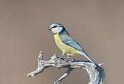 Blue Tit, Parsus caeruleus, Near Mirkovo Village, Bulgaria, perched on branch, winter, passerine bird in the tit family Paridae