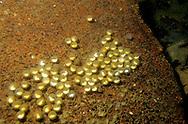 Mudpuppy Salamander Eggs<br /> <br /> ENGBRETSON UNDERWATER PHOTO