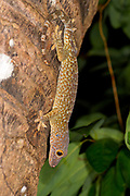 Tokay gecko (Gekko gecko) from Komodo Island, Indonesia.