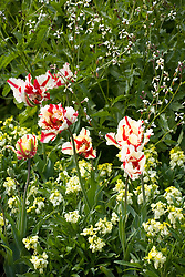 Tulipa 'Flaming Parrot' with Erysimum 'Primrose'