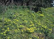 CYPRESS SPURGE Euphorbia cyparissias (Euphorbiaceae) Height to 45cm. Patch-forming, bushy perennial; often turns red late in the season. Found in short grassland on calcareous soils. FLOWERS are yellow, the lobes with short, crescent-shaped horns; borne in umbel-like clusters (May-Aug). FRUITS are warty. LEAVES are narrow and linear. STATUS-Local in S England; also occurs as a garden escape.