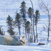 Polar Bear, (Ursus maritimus) Mother with very young cub. Churchill, Manitoba. Canada.