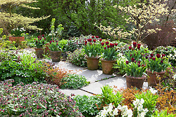 Spring border at Glebe Cottage including Narcissus 'Silver Chimes', Lamium orvala and Cornus controversa 'Variegata'. Tulipa 'Jan Reus' grown in terracotta pots lining the path