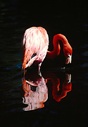 American Flamigo, Phoenicopterus ruber, Sanibel Island, Florida.