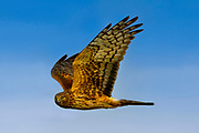 A juvenile northern harrier (Circus hudsonius) flies against a blue sky as it looks for food in a field on Fir Island in Skagit County, Washington. The northern harrier is an usual raptor, with a body that resembles a hawk, but a face that's more like an owl's. Its owlish face aids its incredibly sensitive hearing, allowing it to hear mice and voles beneath vegetation.