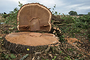 A still-damp mature oak tree felled alongside the Fosse Way as part of works in connection with the HS2 high-speed rail link on 24th August 2020 in Offchurch, United Kingdom. The controversial HS2 infrastructure project is currently expected to cost £106bn and will destroy or significantly impact many irreplaceable natural habitats, including 108 ancient woodlands.