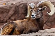 Desrt Bighorn Sheep Ram at the Arizona Sonoran Desert Museum in Tucson, Arizona, USA