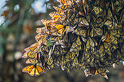 Monarch butterflies mass together as they over-winter in the Sierra Chincua Biosphere Reserve January 20, 2020 near Angangueo, Michoacan, Mexico. The monarch butterfly migration is a phenomenon across North America, where the butterflies migrates each autumn to overwintering sites in Central Mexico.
