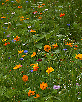 Field of flowers in my backyard meadow. Summer nature in New Jersey. Image taken with a Leica T camera and 55-135 mm zoom lens (ISO 100, 79 mm, f/5.6, 1/400 sec).