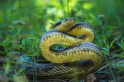 Yellow Rat Snake (Elaphe obsoleta quadrivittata)<br /> Little St Simon's Island, Barrier Islands, Georgia<br /> USA<br /> RANGE: Southeastern United States