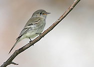 Gray Flycatcher - Empidonax wrightii<br /> Adult<br /> Los Angeles Co., CA<br /> January 2009