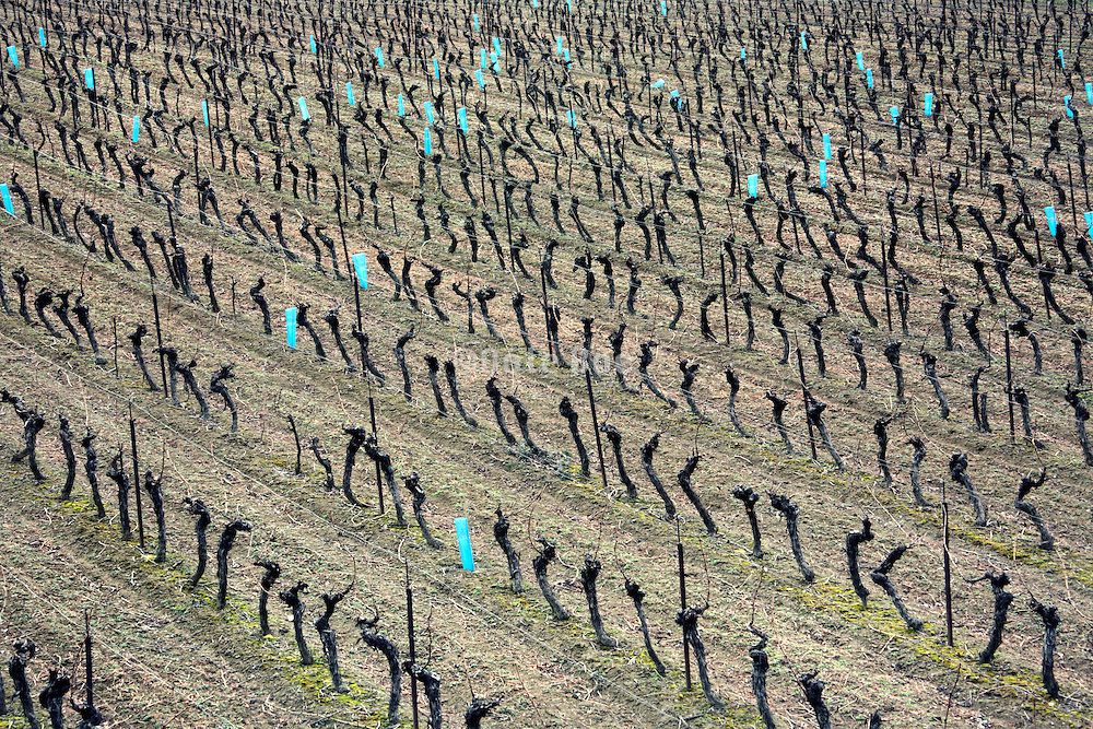 bare rows of vines Languedoc France