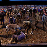 Hirvas Salmi, FINLAND. Lunging for reindeer antlers and falling to the ground, Veggai, 58, grabs onto his calf. After the corral he will then determine which of his reindeer to slaughter and which to release into the wild for another year of grazing.