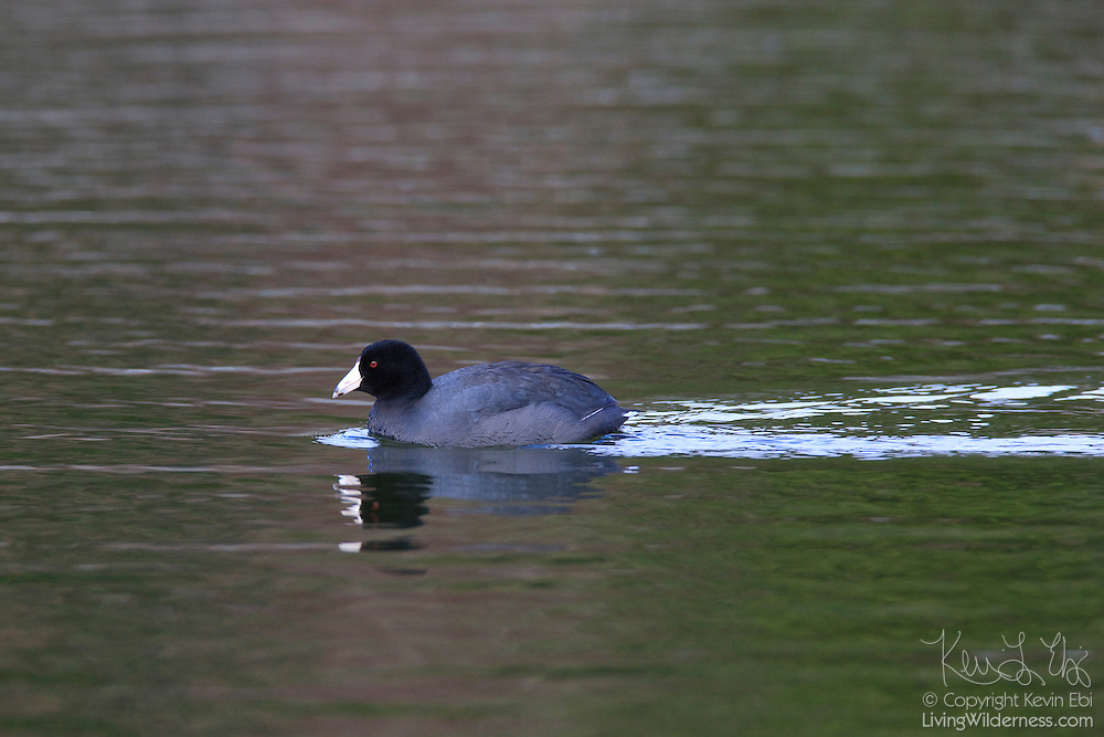 An American coot (Fulica americana) swims across Clear Lake, located in Skagit County, Washington.