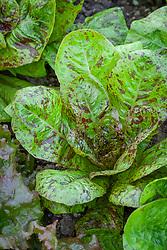 Cos Lettuce 'Freckles'