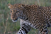 Portrait of a leopard with green eyes at dusk, Panthera pardus.
