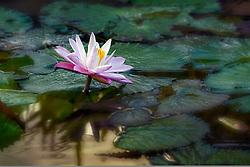 Water Lily, magenta #18 horiz