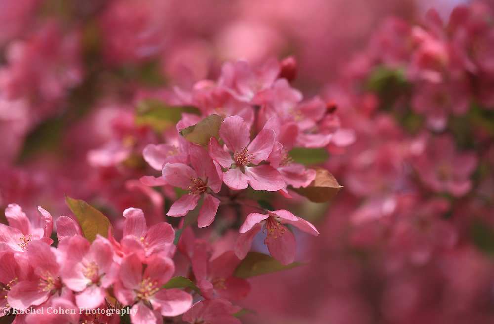 """""""Spring Pinks"""" <br /> <br /> <br /> Beautiful and vibrant bright pink crab-apple blossoms in spring!"""