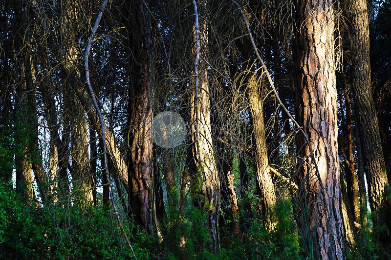Bosque de pinos piñoneros (Pinus pinea). Higueruela. Albacete ©ANTONIO REAL HURTADO / PILAR REVILLA