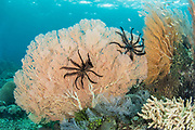 Sea Fan (Gorgonia) & Feather stars<br /> Raja Ampat<br /> West Papua<br /> Indonesia