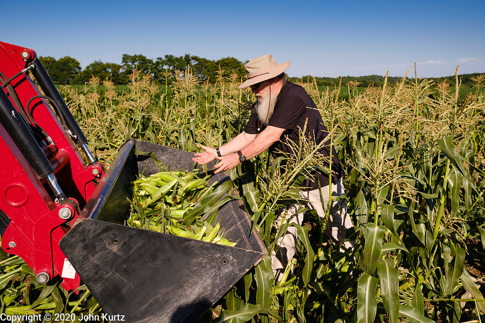 27 JULY 2020 - CARLISLE, IOWA: MIKE PRALL puts gleaned sweet corn into the bucket on a tractor on the Butcher Creek Farm in Carlisle. Volunteers from Eat Greater DSM gleaned sweet corn in the fields on the farm. The corn was packaged and will be distributed to Des Moines emergency pantries, community centers, and churches this week. Gleaning is the act of collecting leftover crops from farmers' fields after they have been commercially harvested or gathering crops from fields where it is not economically profitable to harvest. It is an ancient tradition first described in the Hebrew Bible. A spokesperson for Eat Greater DSM said food assistance need has skyrocketed this year. In a normal year, they distribute about 300,000 pounds of food. Since the start of the COVID-19 pandemic in March, they've distributed more than 500,000 pounds of food.          PHOTO BY JACK KURTZ