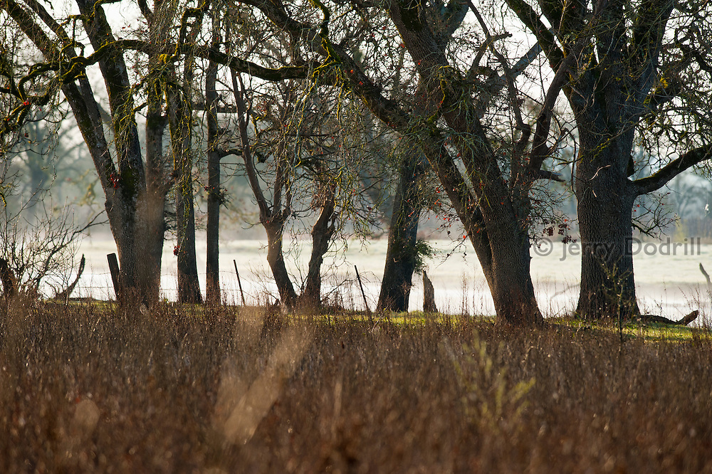 Valley oak trees in the Laguna de Santa Rosa Wetlands Preserve, a significant tributary of the Russian River and a richly biodiverse wildlife habitat in Sonoma County, California