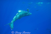 juvenile female humpback whale, Megaptera novaeangliae, swimming upside-down and cavorting with Hawaiian spinner dolphins or Gray's spinner dolphin, Stenella longirostris longirostris, Kona, Hawaii, USA ( Central Pacific Ocean )