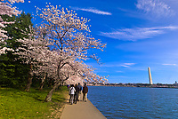 Cherry Blossoms, Cherry Tree Walk, Tidal Basin (with Washington Monument in background), Washington D.C., U.S.A.