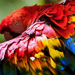 Arara-vermelha-grande   Red-and-green Macaw (Ara chloropterus)