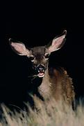 Mule Deer, Point Reyes National Seashore, California