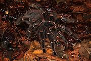 Tarantula Spider, Salmon Pink Bird Eating, Lasiodora parhaybana, Brazil, on forest floor, jungle.South America....