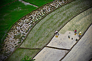 View from above of three women are planting rice in rice fields,  in Sapa surroundings, Lao Cai province, North Vietnam.