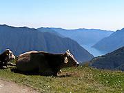 Mucche al pascolo sulle montagne occidentali del lago di Como...Cows in pasture on the west mountains of the Como lake, visible in the background.