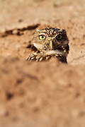 Northern (or Western) Burrowing Owl, near the Salton Sea, Imperial Valley, California.