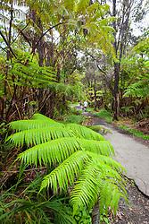 tourists, hiking rainforest trail under tree fern, Hapuu, Cibotium sp., and endemic Ohia Lehua, Metrosideros polymorpha, Kilauea, Hawaii Volcanoes National Park, Big Island, Hawaii, USA