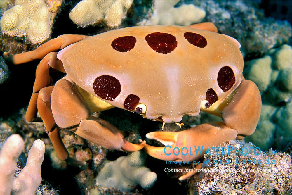 seven-eleven crab or dark finger coral crab, Carpilius maculatus, Kona, Big Island, Hawaii, Pacific Ocean