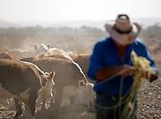 Rancher working and feeding cattle, Flinders Ranges, South Australia, Australia