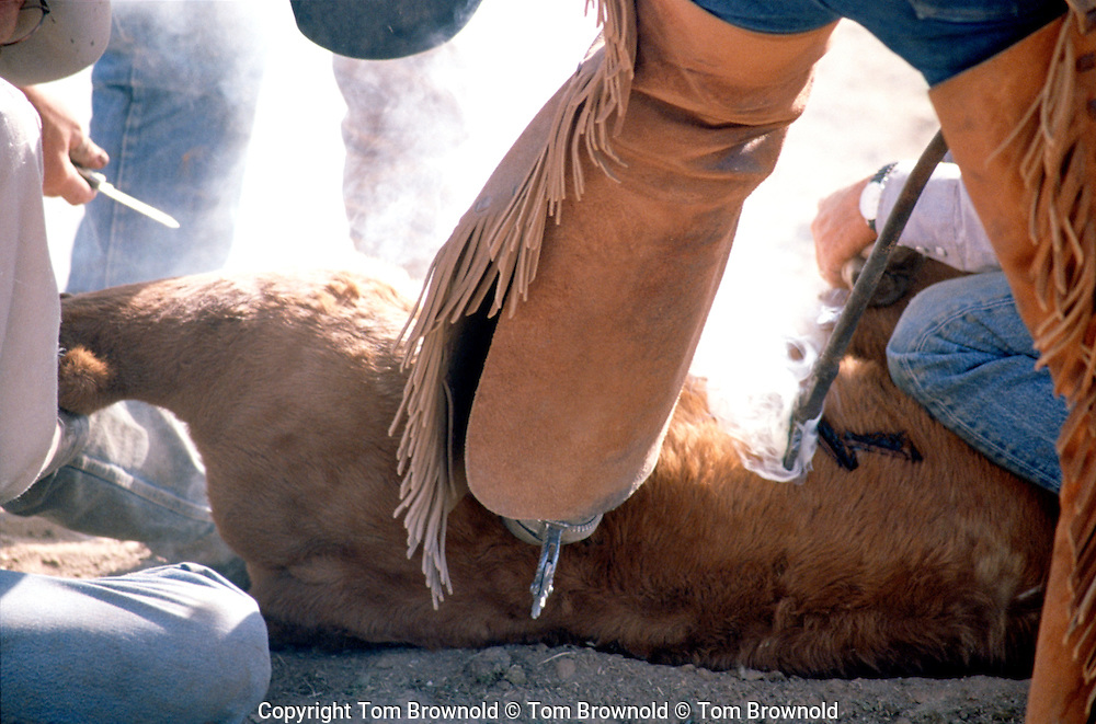 Ranch hands castrating and de-horning and branding spring calfs