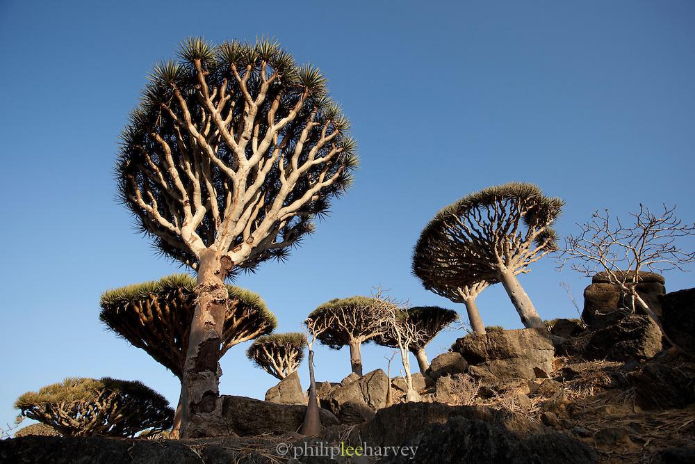 Dragon Blood Tree Forest at dawn. Dixsam, Socotra, Yemen